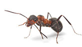 Pest Xpress. Image of ant.